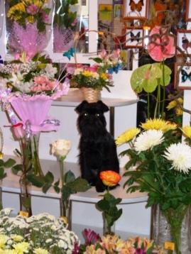 Бельгийский гриффон Аська работает в цветочном магазине, покупают у нее хорошо.