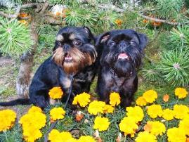 Бельгийские гриффоны черного и черно-подпалого окрасов