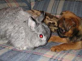 Пти брабансон с кроликом.